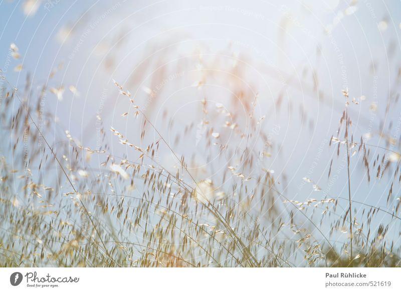 Sommerliche Leichtigkeit Umwelt Natur Himmel Wolkenloser Himmel Sonne Schönes Wetter Unwetter Wind Pflanze Gras Sträucher Wildpflanze Wiese Feld Glück hell nah