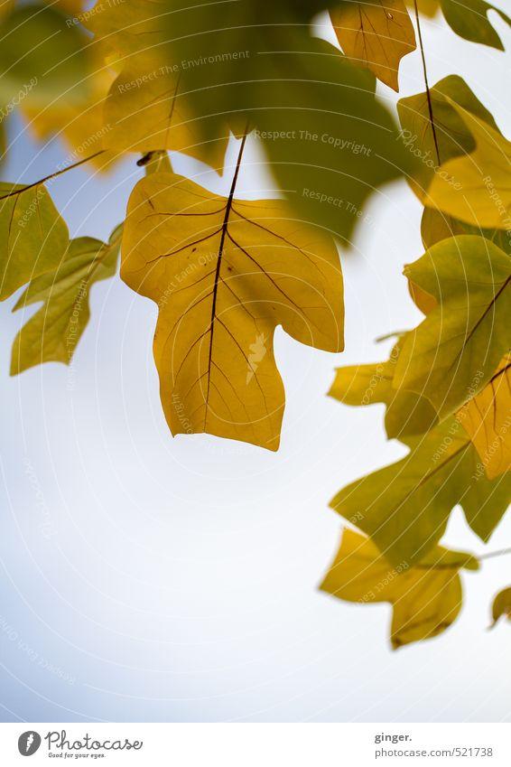Ziemlich typisches Herbstbild Himmel Natur blau grün Pflanze Baum Blatt gelb Umwelt hell braun Wetter Klima mehrere Schönes Wetter