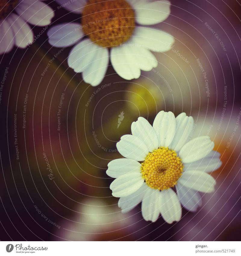 Gänsemargerille Natur schön weiß Pflanze Baum Blume Blatt gelb Umwelt Wärme Herbst Blüte klein Schönes Wetter einfach violett