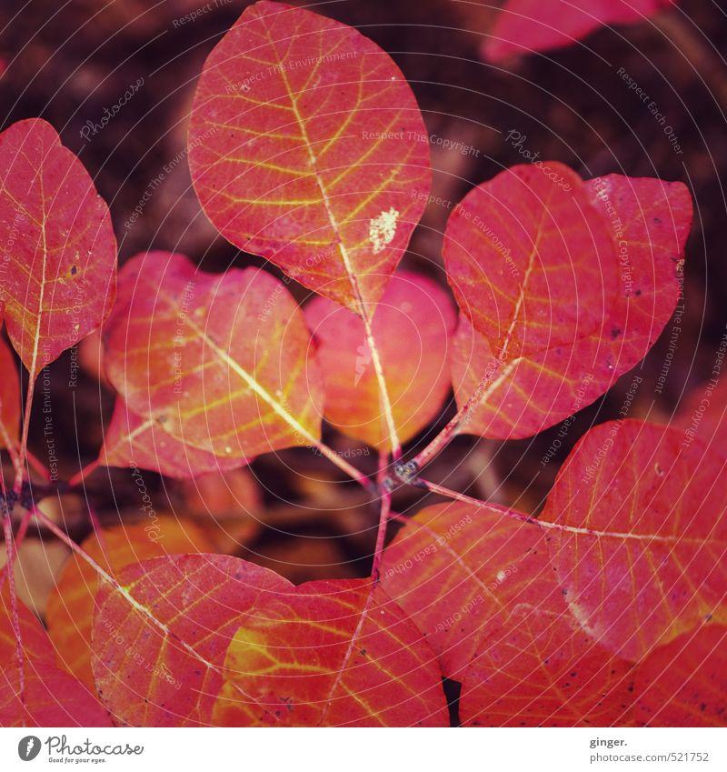 Der Herbst brennt Natur Pflanze Baum rot Blatt Umwelt Herbst Garten Wetter Klima Sträucher mehrere Schönes Wetter Feuer brennen glühen