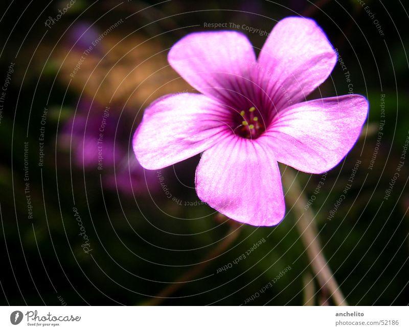 une fleur rose Blume Natur Blüte rosa violett Makroaufnahme schwarz Hintergrundbild Staubfäden flower blossom purple Nahaufnahme shaft Stengel hinterground