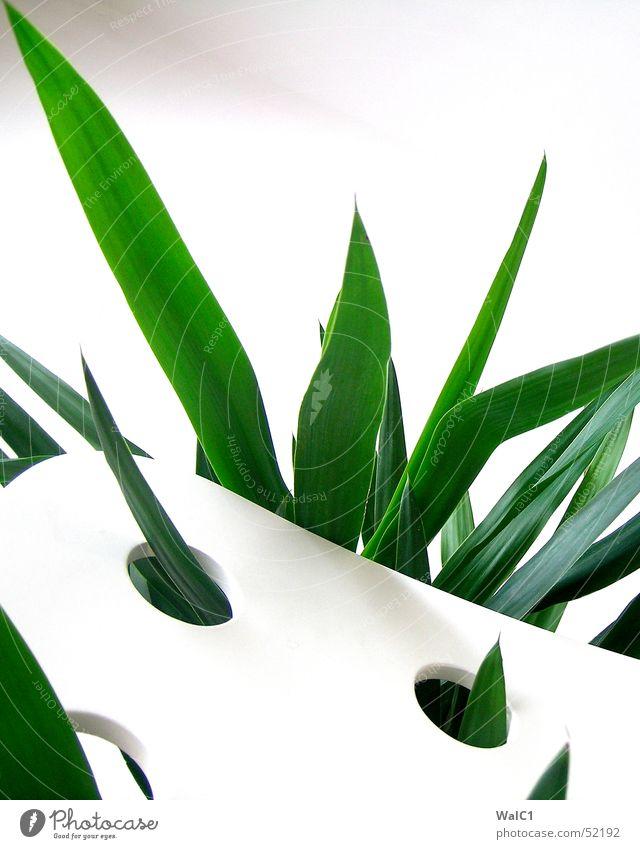 Eingelocht 01 Sessel weiß Loch Pflanze Blatt Palme grün Faser Mauer Wand Stuhllehne Decke Spitze