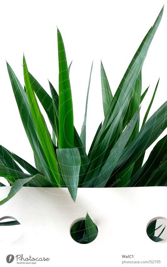 Eingelocht 04 Sessel weiß Loch Pflanze Blatt Palme grün Faser Mauer Wand Stuhllehne Decke Spitze