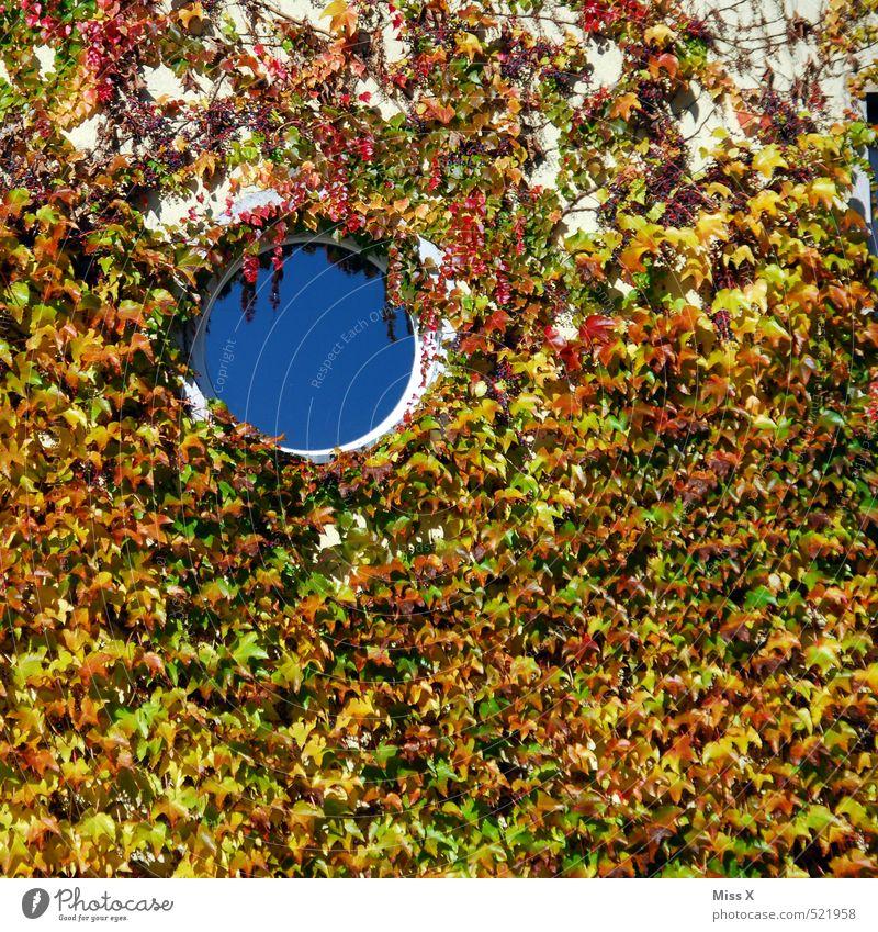 Loch oben links Wohnung Herbst Pflanze Sträucher Efeu Mauer Wand Fassade Fenster rund Bullauge Wilder Wein Ranke bewachsen Wachstum Farbfoto mehrfarbig