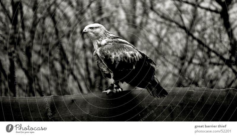 Raubvogel Auge Tier Vogel Feder Schnabel Dieb Bussard
