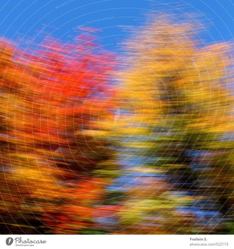 Tanz | Indian Summer Dance Wolkenloser Himmel Herbst Schönes Wetter Baum Blatt Laub Ahorn Wald Waldrand drehen wild blau mehrfarbig gelb gold orange Euphorie