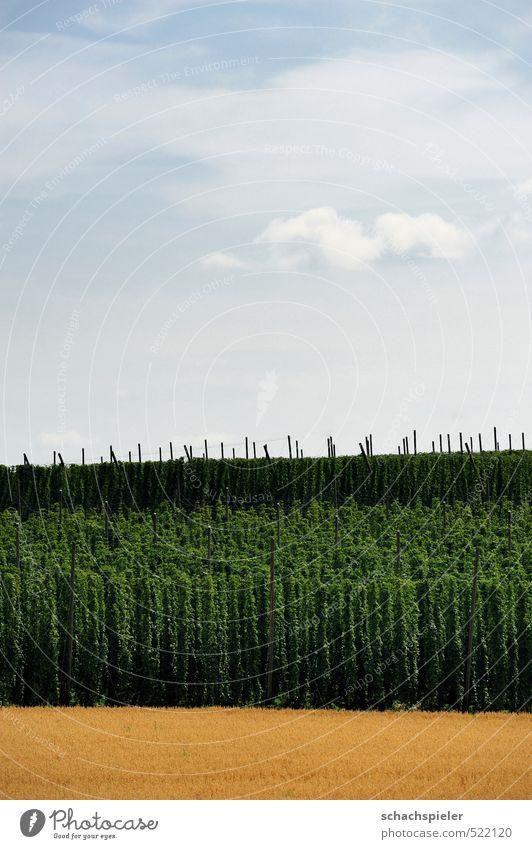 Hopfen Landwirtschaft Forstwirtschaft Natur Himmel Wolken Pflanze Nutzpflanze Feld blau braun grün weiß Hopfenanbau Hopfenplantage Ackerbau Kulturlandschaft