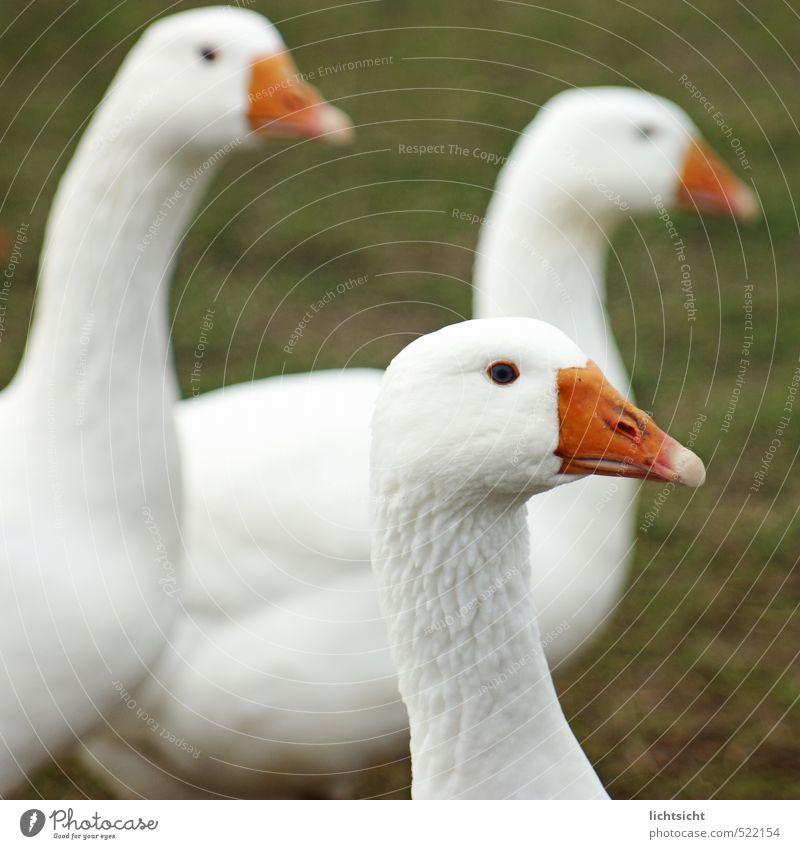 Gans aufmerksam Gras Wiese Tier Haustier Nutztier Vogel Tiergesicht 3 Tiergruppe weiß Ente Schnabel Feder Tierhaltung Viehhaltung freilaufend Bioprodukte