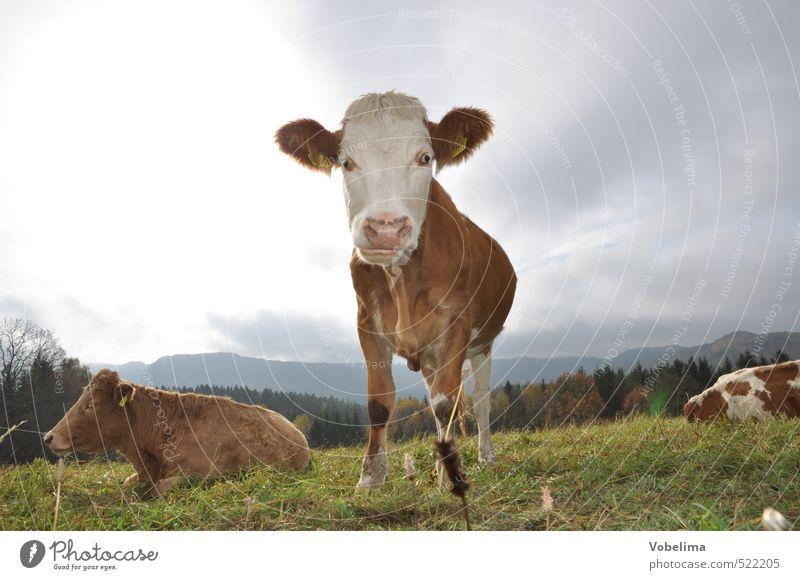 Kuh Landwirtschaft Forstwirtschaft Wolken Tier Nutztier 3 Neugier Farbfoto Außenaufnahme Menschenleer Textfreiraum links Textfreiraum rechts Textfreiraum oben