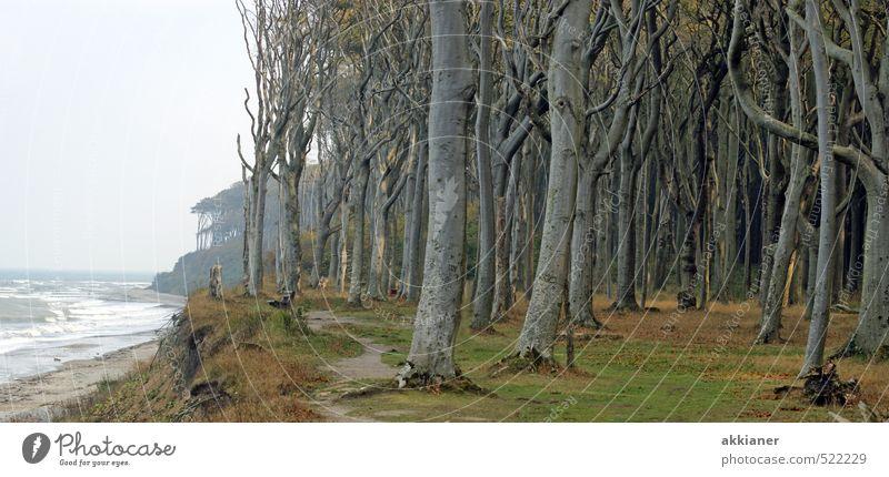 Gespensterwald Umwelt Natur Landschaft Pflanze Urelemente Erde Wasser Herbst Baum Wald Wellen Küste Ostsee Meer gruselig kalt nass Farbfoto Gedeckte Farben
