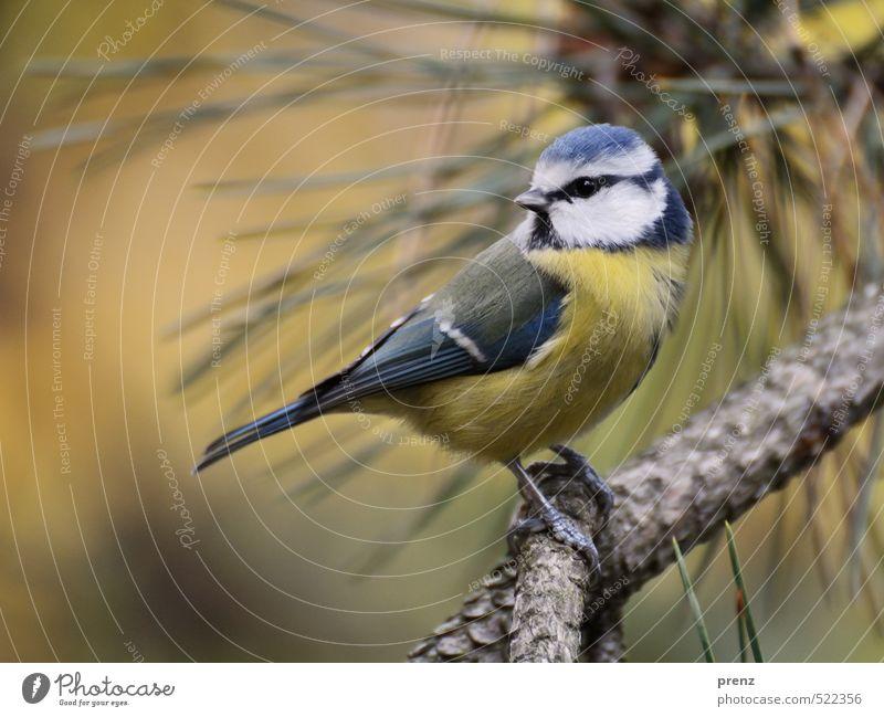 Rückblick Umwelt Natur Tier Wildtier Vogel 1 blau gelb Blaumeise sitzen Kiefer Zweige u. Äste Blick niedlich Farbfoto Außenaufnahme Menschenleer