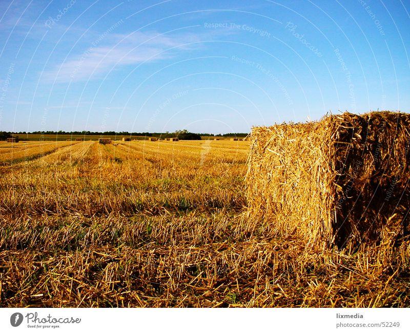 Feld in Dänemark gelb Feld gold Getreide Heu Ernte Abenddämmerung Blauer Himmel Dänemark Stroh Heuballen