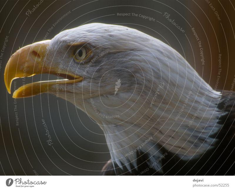Seeadler Adler