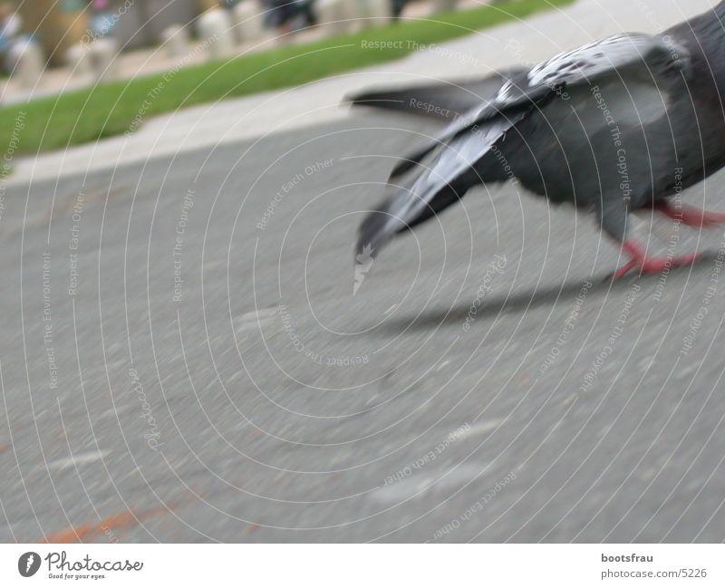 Taube 2 Park Flucht füttern