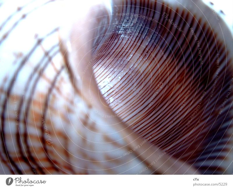 Muschel Sommer Strand Streifen Muschel