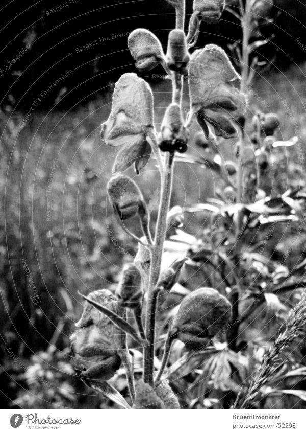 Black&White weiß Blume schwarz Blüte Gras