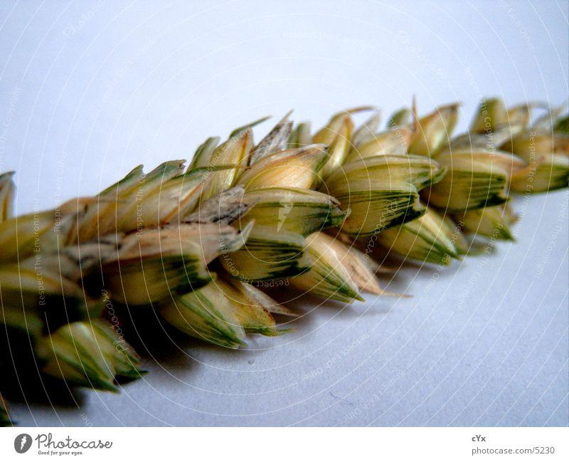 Korn -1- Äre Getreide Nahaufnahme