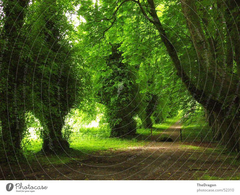 Grüne Allee in Irland Tunnel Baum grün dunkel Kies Hoffnung Erholung ruhig Gelassenheit einladend Frieden Sommer England Republik Irland Insel dunkelgrün weg