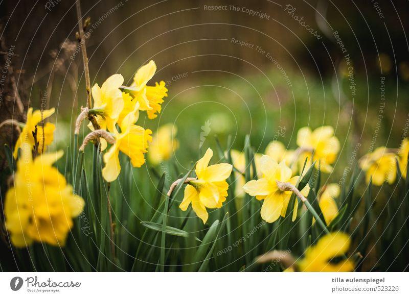 April Natur Pflanze Frühling Blume Gras Blüte Wiese Blühend natürlich wild gelb grün Frühlingsgefühle Narzissen Gelbe Narzisse eng Frühlingsblume Blumenwiese