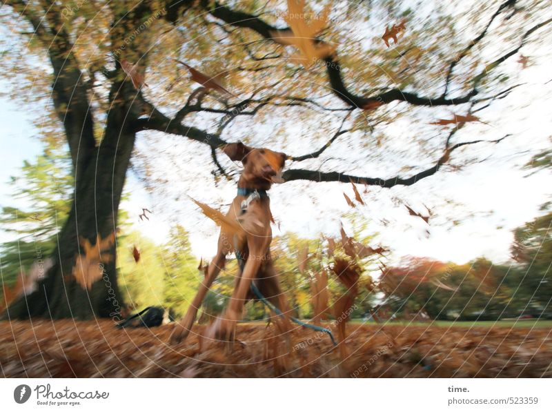 Tanz   Ben entdeckt den Herbst Hund Natur Landschaft Freude Tier Umwelt Wiese Bewegung Wege & Pfade springen Park wild Tanzen Fröhlichkeit Fitness Lebensfreude