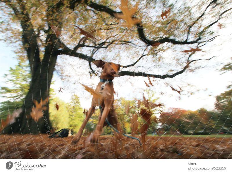 Tanz   Ben entdeckt den Herbst Umwelt Natur Landschaft Park Wiese Tier Haustier Hund 1 Bewegung springen Tanzen toben Fröhlichkeit rebellisch wild Freude