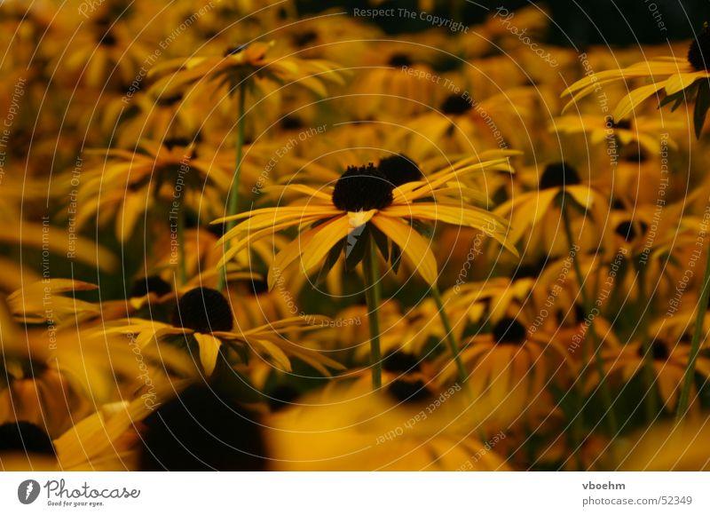 Blumenmeer Natur Blume Sommer gelb Park braun