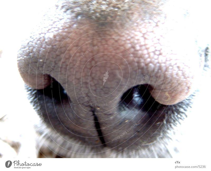Riechkolben Hund Labrador braun Loch Nasenloch Sinnesorgane Geruch