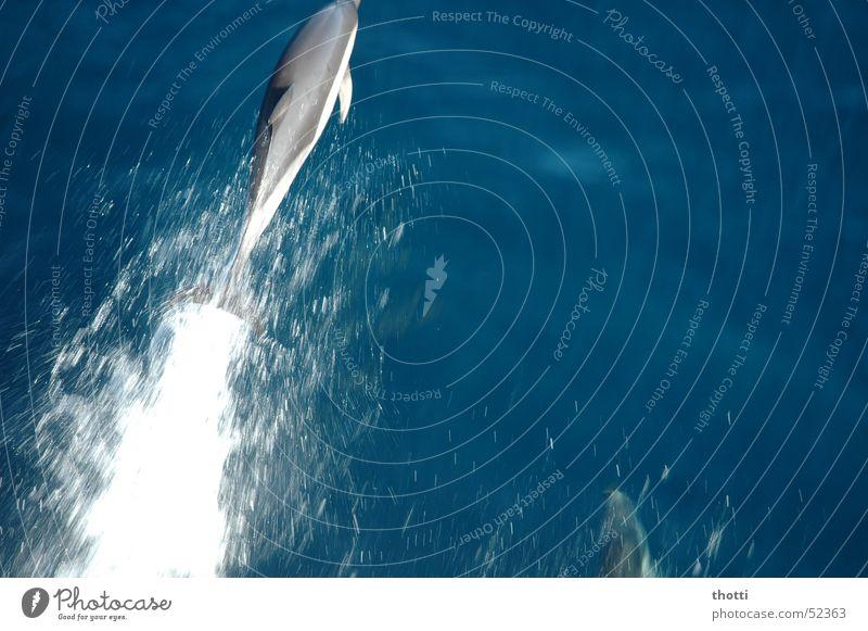 Flipper 2 Delphine Großer Tümmler Meer springen Tier Wasser dolphin water ocean Bewegung motion