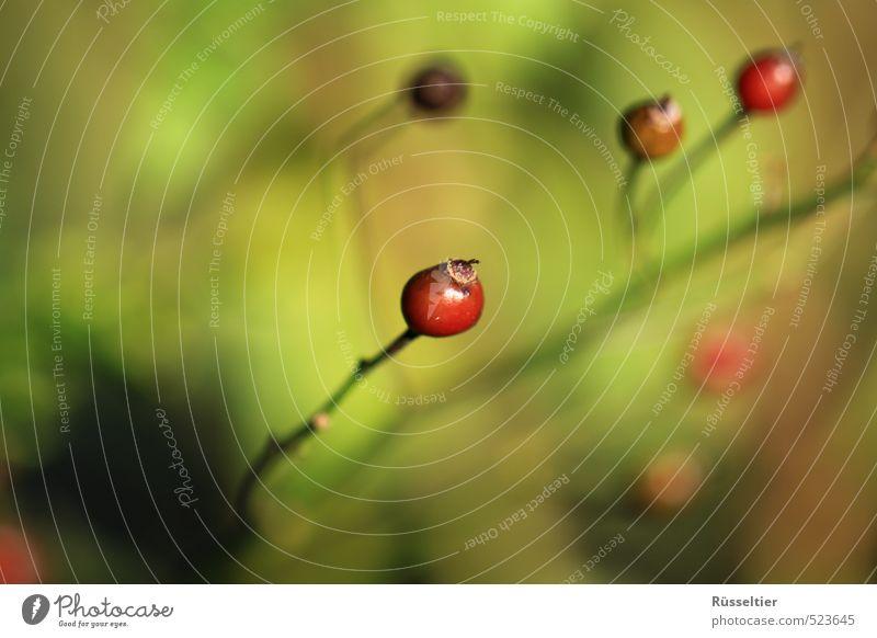 Herbstbeere Natur Pflanze Schönes Wetter Sträucher Wachstum nah schön grün rot geduldig ruhig Farbfoto mehrfarbig Außenaufnahme Nahaufnahme Zentralperspektive