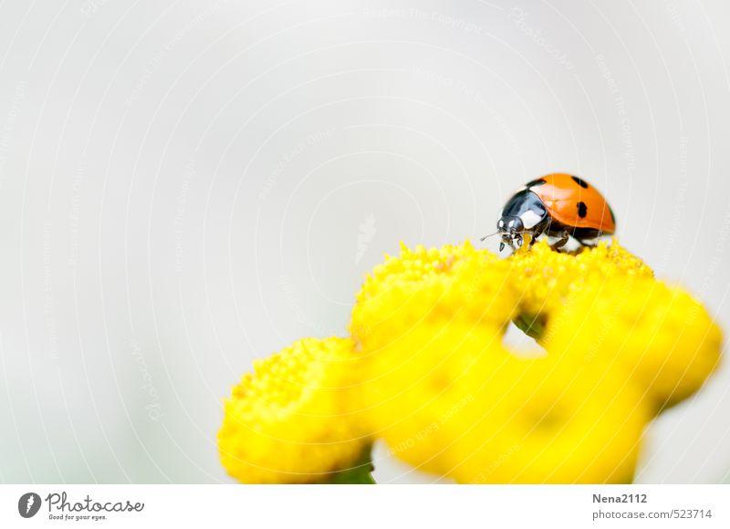 Sommererinnerung Umwelt Natur Pflanze Tier Luft Blüte Garten Park Wiese Käfer 1 krabbeln Marienkäfer gelb Suche klein Punktmuster Glücksbringer Insekt Farbfoto