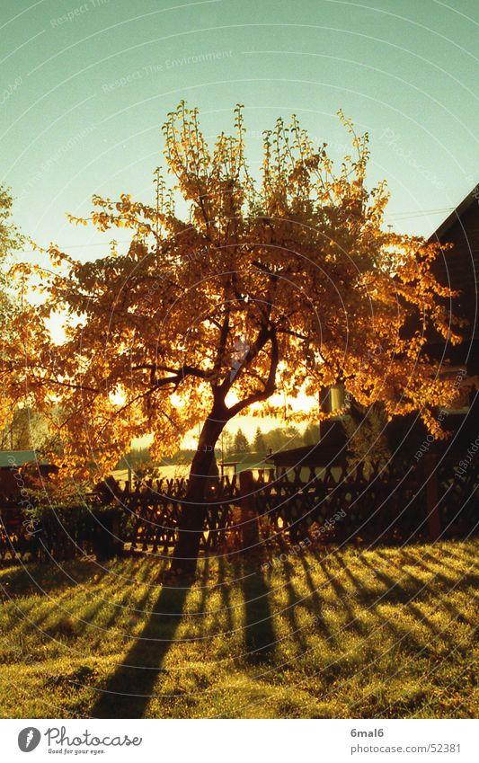 Birnenbaum im Herbst Baum Holz Blatt Wiese Sonne Wärme Schatten Garten Frucht Himmel Natur Landschaft
