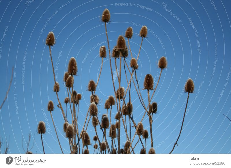 Disteln vor Winterhimmel Pflanze Himmel blau