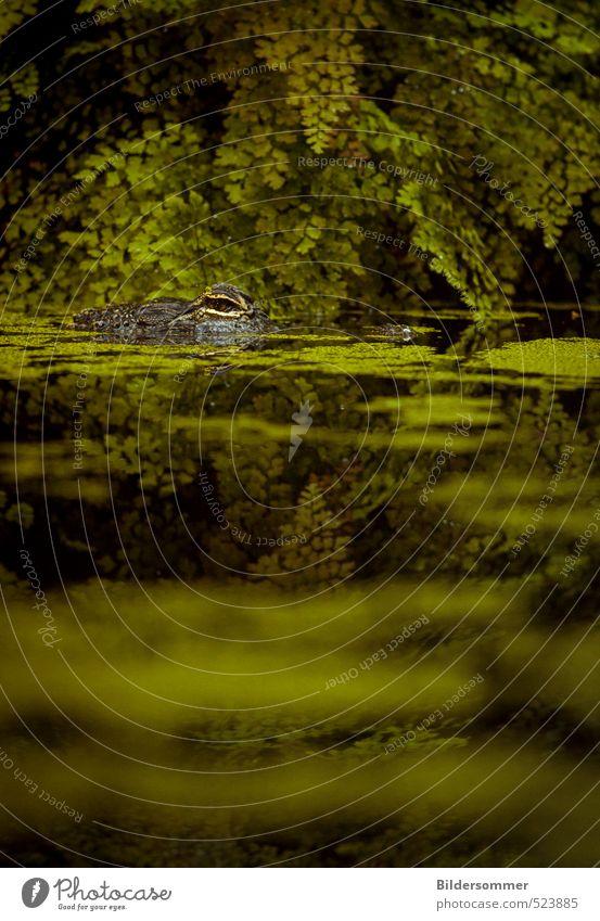 wer zuerst blinzelt... Natur grün Wasser Tier Gefühle Angst Wildtier Tourismus warten gefährlich bedrohlich Risiko Zoo Urwald exotisch Wasseroberfläche
