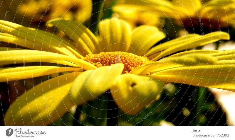 Gelb Margerite Blume gelb Sommer Natur Garten jarts