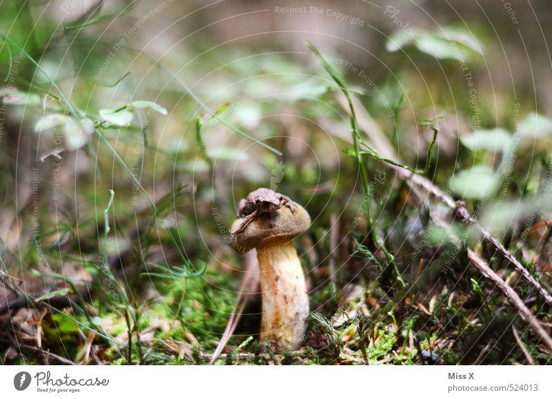 Pilz mit Frosch Lebensmittel Ernährung Erde Herbst Moos Wald Tier 1 sitzen klein nass Laubfrosch Maronenröhrling essbar Steinpilze Wachstum Waldboden verstecken