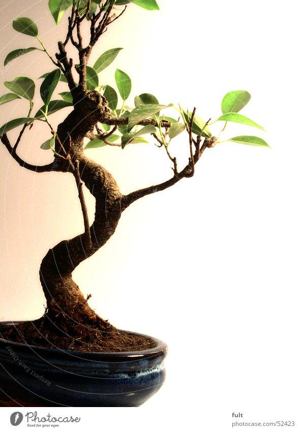 bonsaibaum Natur Baum Pflanze ruhig Blatt Kunst klein Erde Baumstamm Zierde Bonsai