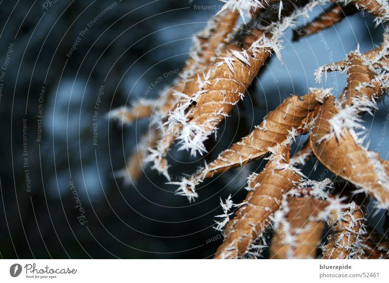 Eisige Kälte Blatt Nebel braun kalt Baum stachelig weiß dünn vertrocknet Frost Raureif Schnee Pflanze spitzig welk