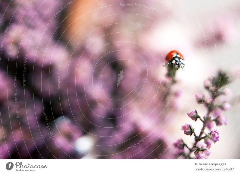 pünktchen Pflanze Blume Blüte Tier Käfer 1 Blumenstrauß krabbeln nah wild rosa Farbe Natur Insekt Marienkäfer oben Unschärfe Stengel Farbfoto Nahaufnahme