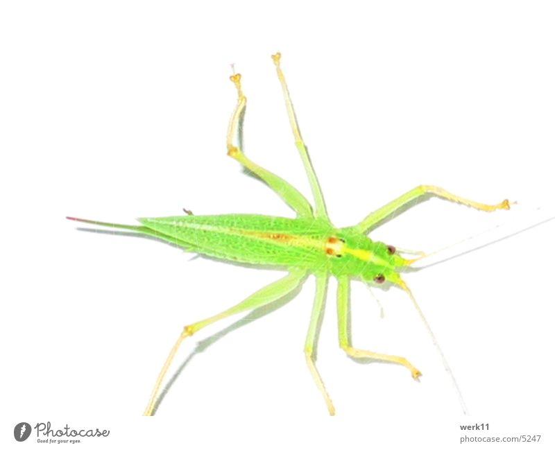 die anderen Insekt Heuschrecke grün Tier Schädlinge Makroaufnahme