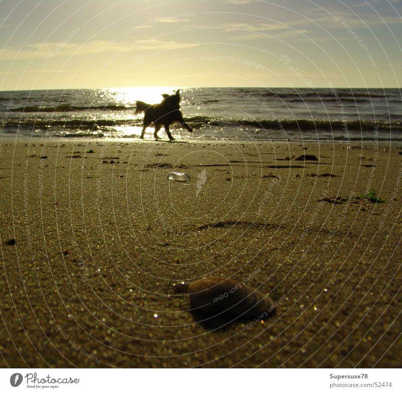 Hund am Strand Meer Muschel Sonnenuntergang Spielen See Niederlande Nordsee