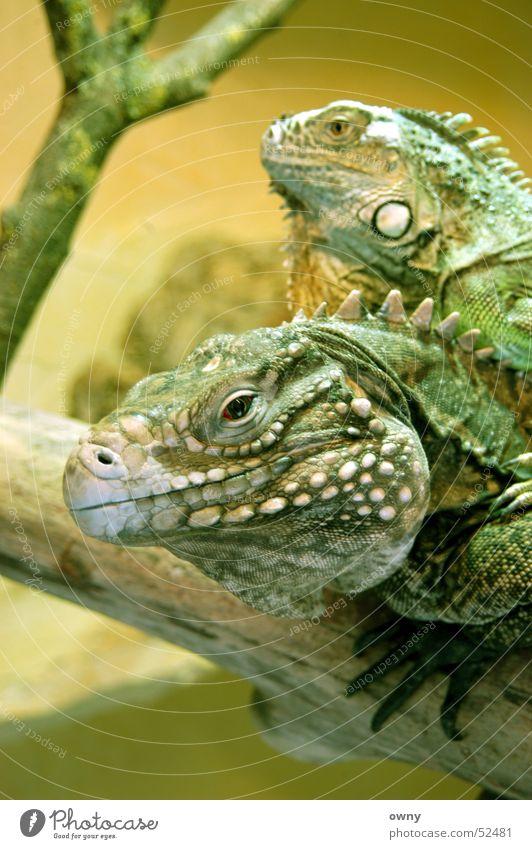 Drachen Echsen Tier Tierpaar Leguane Reptil Terrarium grün Auge Blick paarweise