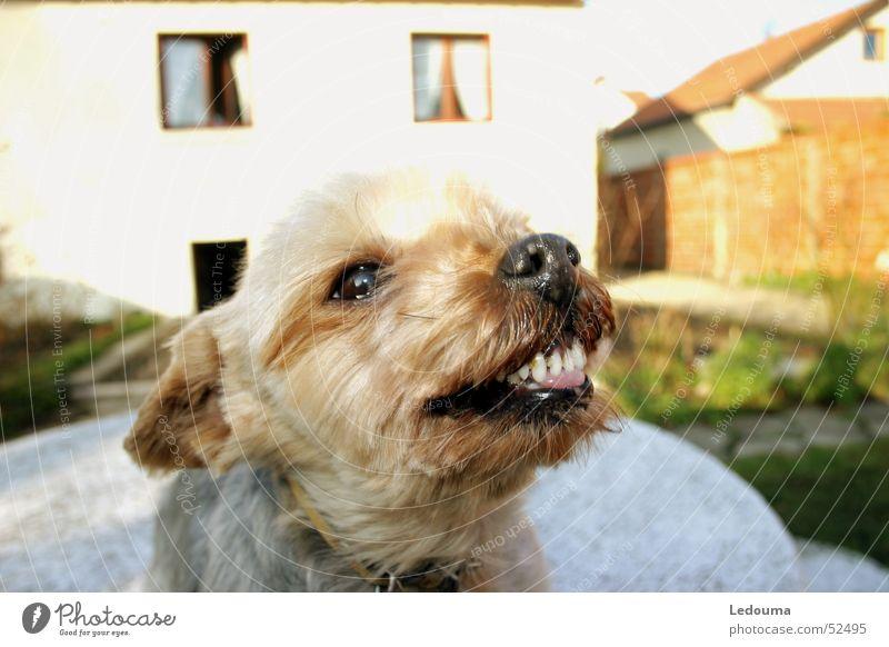 Zungenrausstreck Hund Gebiss frech Schnauze rausstrecken