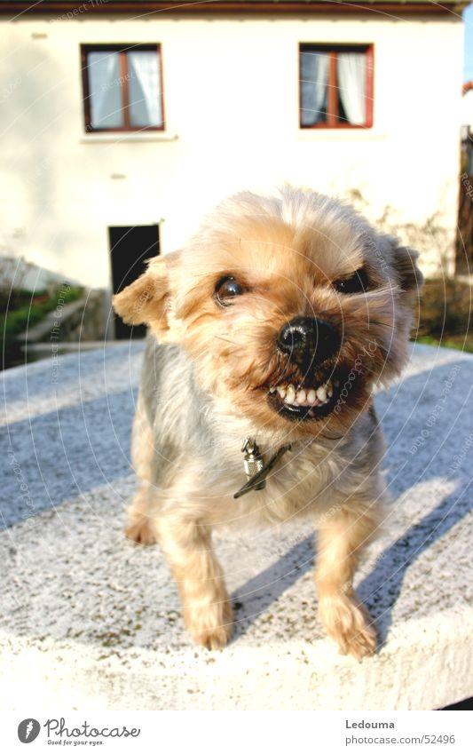 Grrr Hund Schnauze Angriff Gebiss Respekt fripouille