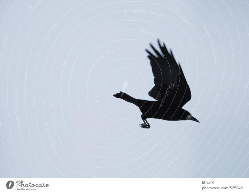 Anflug Himmel blau Tier schwarz Vogel fliegen wild Wildtier Wolkenloser Himmel Schüchternheit Krähe flüchten Rabenvögel Aaskrähe