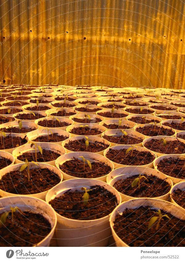 Dicht an dicht Setzling Blumentopf Gewächshaus Gärtnerei klein mehrere Gurke Pflanze viele