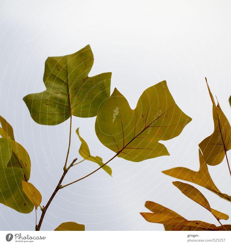 Hallo Herbst! Was geht ab? Himmel Natur grün Pflanze Baum Wolken Blatt außergewöhnlich braun groß Ast viele Jahreszeiten trüb Japanisch