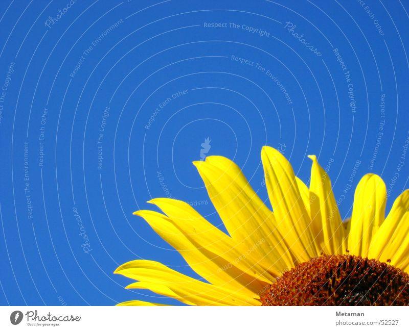 Sonnen-schein Sonnenblume gelb Sommer Physik frisch blau Himmel blühte Wärme Garten Beleuchtung Natur flower