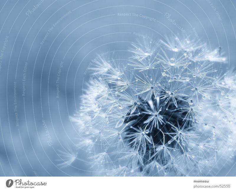 ins Blau gepustet Licht pusteblume löwenzahn samen schein Detailaufnahme blau