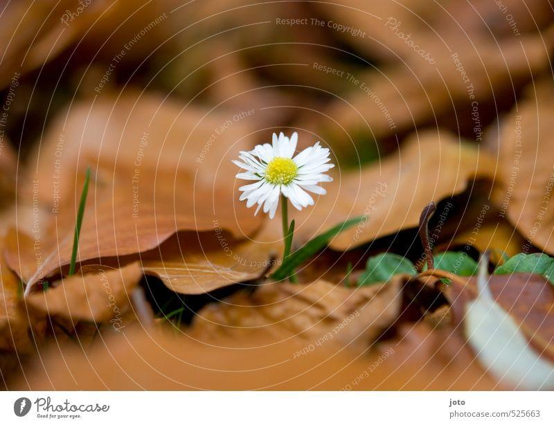 überreste des sommers Natur Pflanze Herbst Blume Gänseblümchen Garten Wiese Blühend Duft dehydrieren niedlich Leben Einsamkeit einzigartig Mittelpunkt