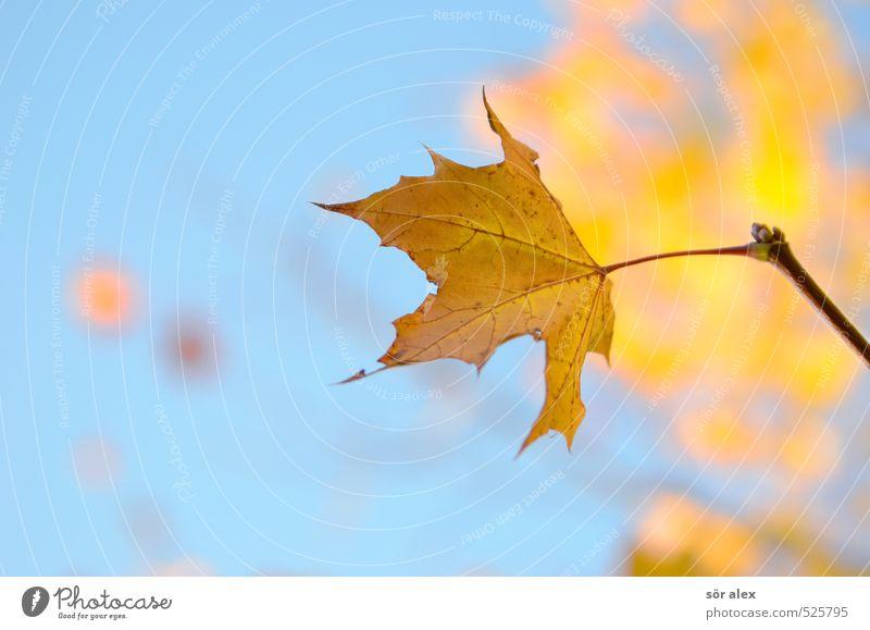 jährlicher Rhythmus Umwelt Natur Pflanze Himmel Herbst Klima Schönes Wetter Blatt Ahornblatt gelb orange Ausdauer standhaft Sehnsucht Einsamkeit Erschöpfung